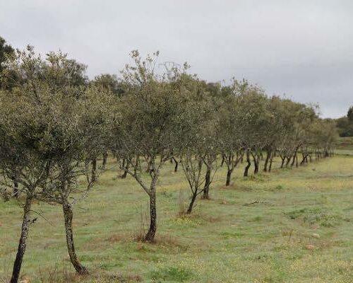 Endlose Reihen von Olivenbäumen.