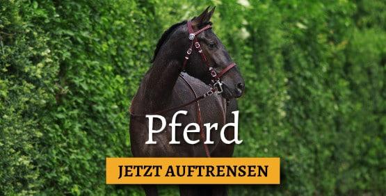 Spanisches Pferd mit brauner Trense bei Picadera