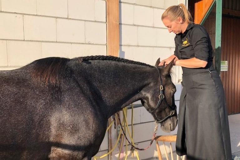 Spanisches Pferd Knabstrupper Mähne flechten portugiesischer Zopf bei Picadera